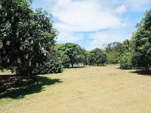 Farm land with house and fruit bearing Mango Trees for Sale in Danao City, Cebu